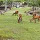 Wild deers walking around in Omoto Park, Japan - PhotoDune Item for Sale