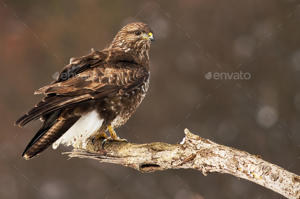 Common buzzard perched on the tree branch having a guard - Stock Photo - Images