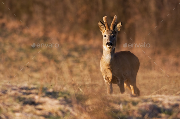 A young roe deer buck eating grass on the spring meadow - Stock Photo - Images