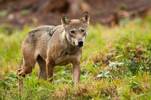Solitary grey wolf wandering the mountains in summer and looking to camera - Stock Photo - Images