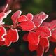 Red autumn barberry leaves close-up with hoarfrost - PhotoDune Item for Sale