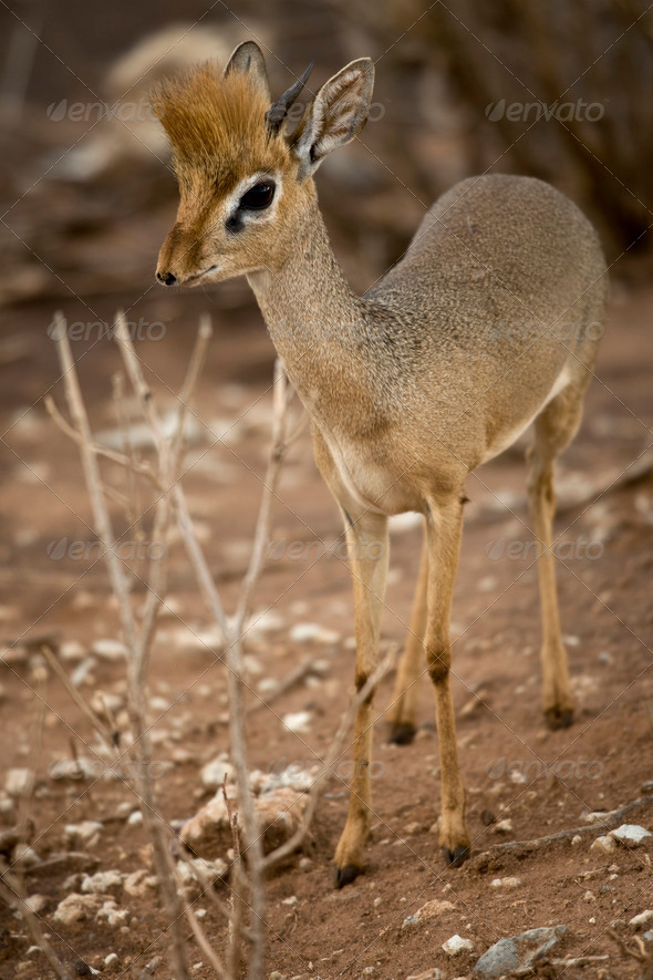 Dik dik standing, Tanzania, Africa - Stock Photo - Images