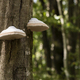 White roof mushrooms growing on a tree stump in a beech forest. - PhotoDune Item for Sale