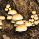 Family of orange mushrooms growing on a tree stump. - PhotoDune Item for Sale