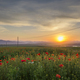 Field with poppies at sunset - PhotoDune Item for Sale