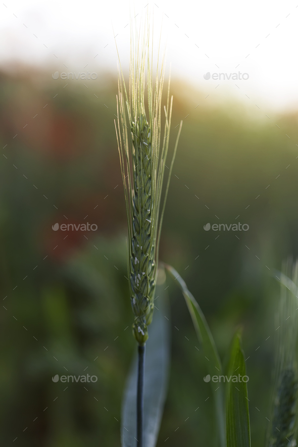 One green wheat ears - Stock Photo - Images