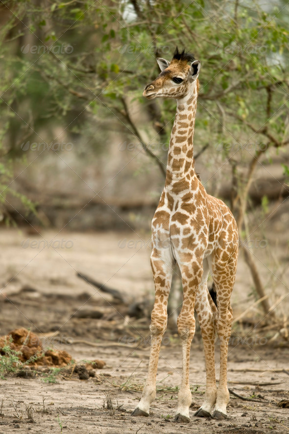 Young giraffe in the Serengeti, Tanzania, Africa - Stock Photo - Images