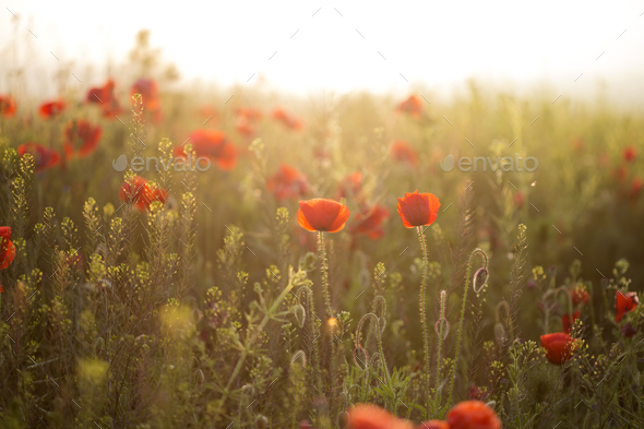 Red poppies field - Stock Photo - Images