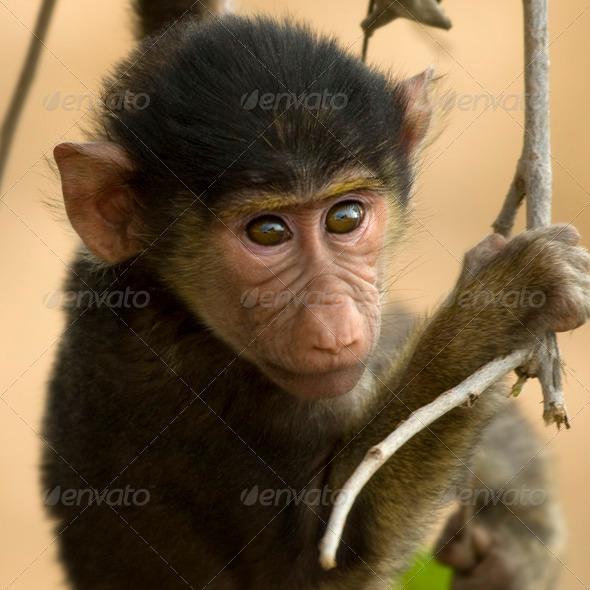 Close-up of macaque, Tanzania, Africa - Stock Photo - Images