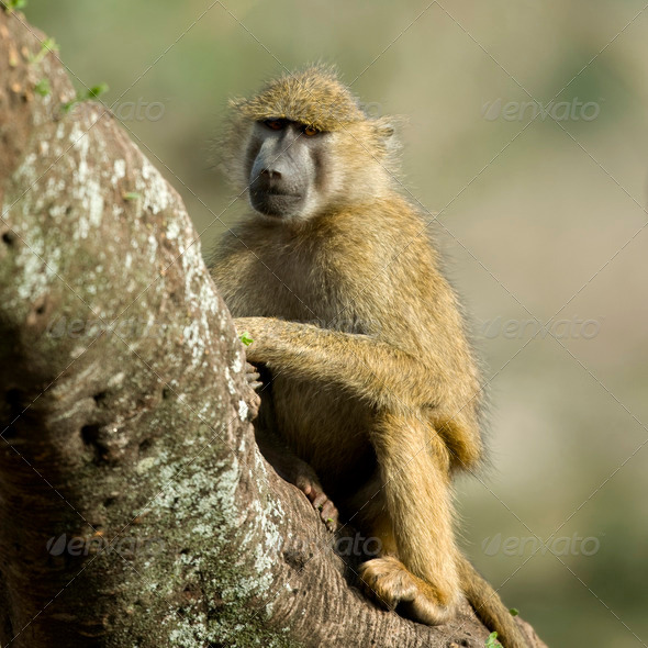 Monkey sitting in tree in the Serengeti, Tanzania, Africa - Stock Photo - Images