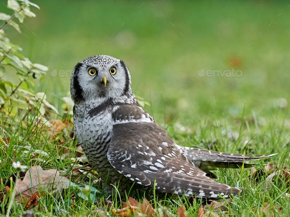 Northern Hawk Owl (Surnia ulula) - Stock Photo - Images
