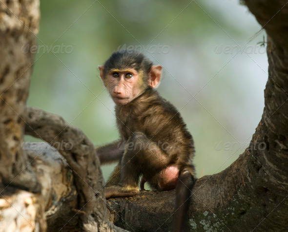 Baby monkey sitting in the tree in the Serengeti, Tanzania, Africa - Stock Photo - Images