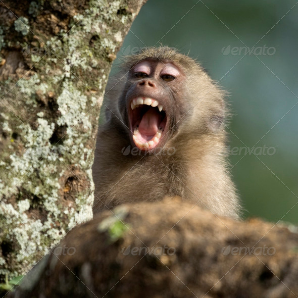Close-up of macaque yawning, Tanzania, Africa - Stock Photo - Images