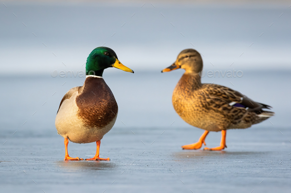 Pair of mallards standing on ice in winter close together in cold weather - Stock Photo - Images