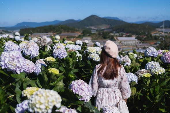 Young woman traveler enjoying with blooming hydrangeas in Dalat, Vietnam, Travel lifestyle concept - Stock Photo - Images