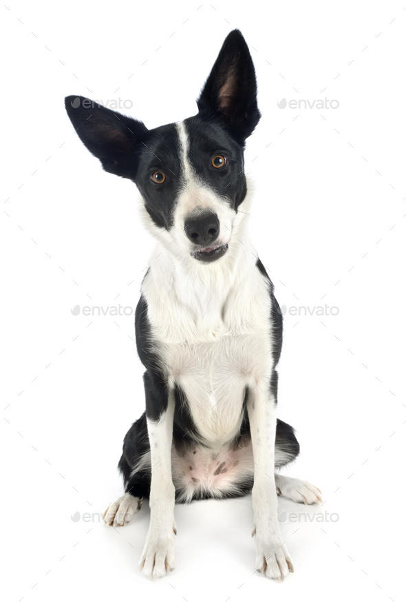 border collie in studio - Stock Photo - Images