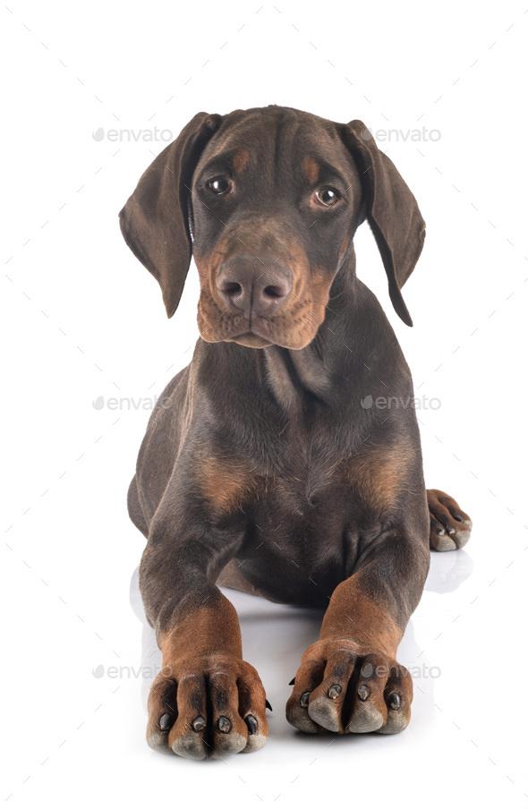 puppy doberman pinscher in studio - Stock Photo - Images