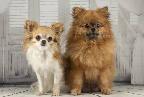chihuahua and pomeranian in studio - Stock Photo - Images