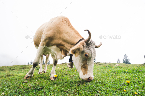 Fisheye shot of a grazing cow - Stock Photo - Images