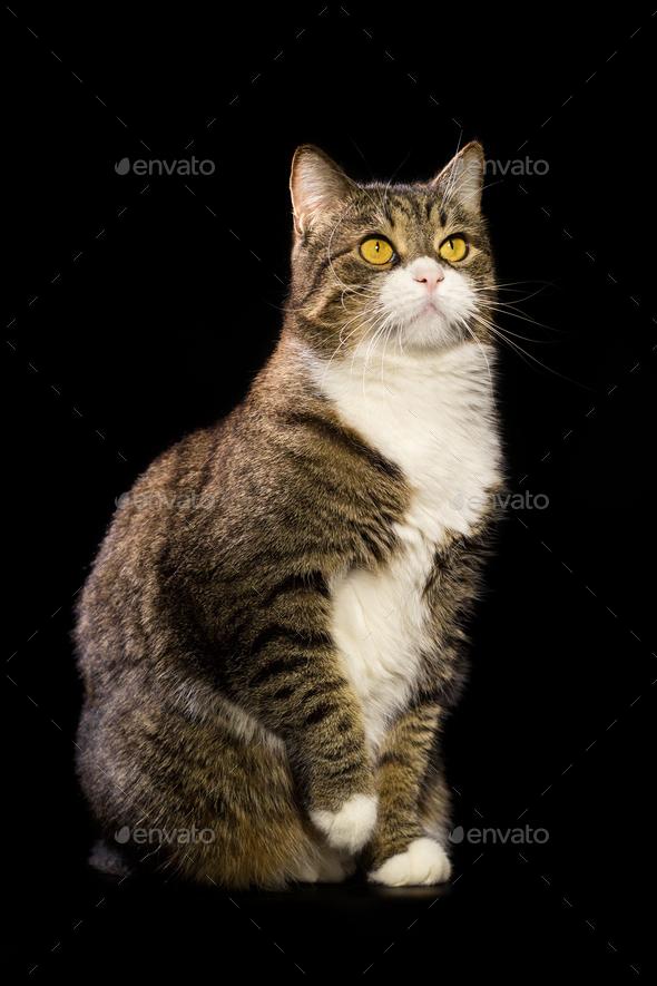 Grey cat  on black background - Stock Photo - Images