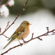 Chaffinch bird sitting on a snow covered tree - PhotoDune Item for Sale