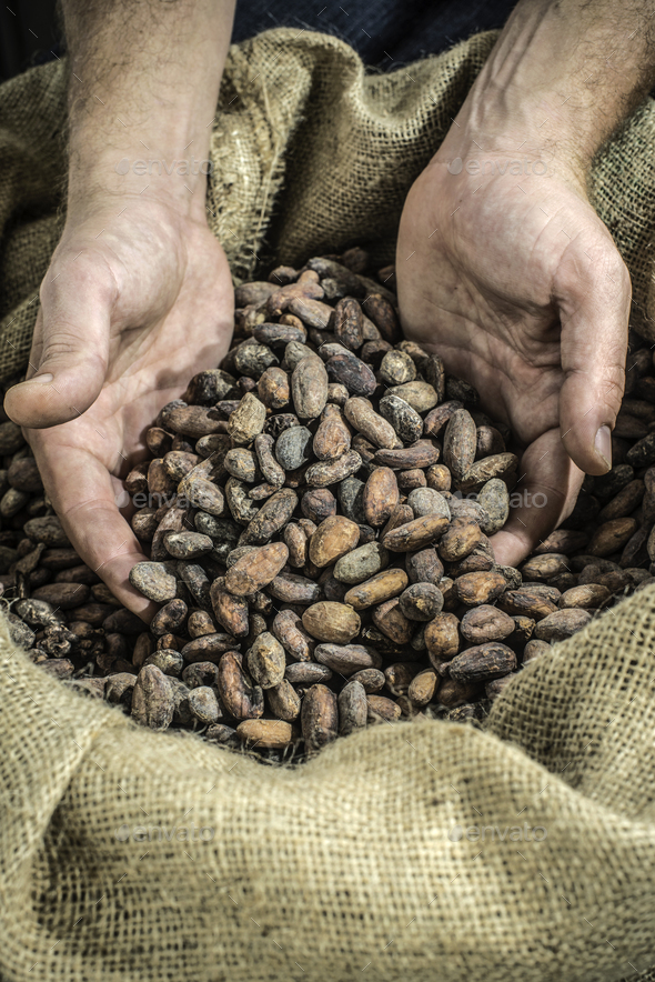 Hand holds cocoa beans - Stock Photo - Images