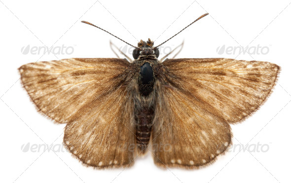 Skipper butterfly in front of white background - Stock Photo - Images