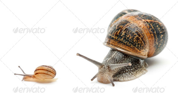 Garden snail with its baby in front of white background - Stock Photo - Images