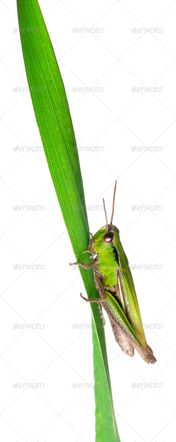 Cricket on a grass blade in front of white background - Stock Photo - Images