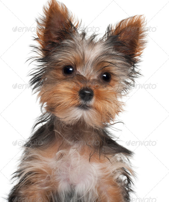 Yorkshire Terrier puppy, 8 weeks old, in front of white background - Stock Photo - Images
