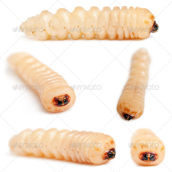 Longhorned Beetle larvae, Cerambycidae Sp, in front of white background - Stock Photo - Images