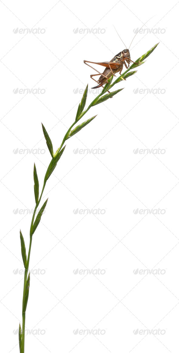 Female Shield-back Katydid, Platycleis tessellata, climbing grass in front of white background - Stock Photo - Images