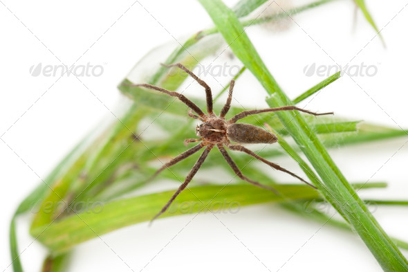 Nursery web spider, Pisaura mirabillis, on nest in front of white background - Stock Photo - Images