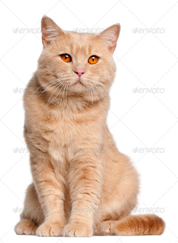 British Shorthair cat, 1 year old, sitting in front of white background - Stock Photo - Images