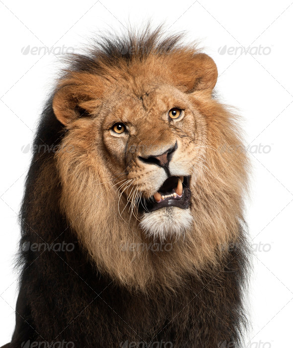 Close-up of lion, Panthera leo, 8 years old, in front of white background - Stock Photo - Images