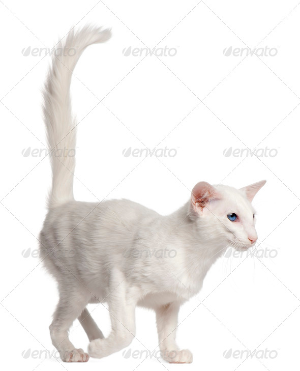 Balinese cat, 1 year old, walking in front of white background - Stock Photo - Images
