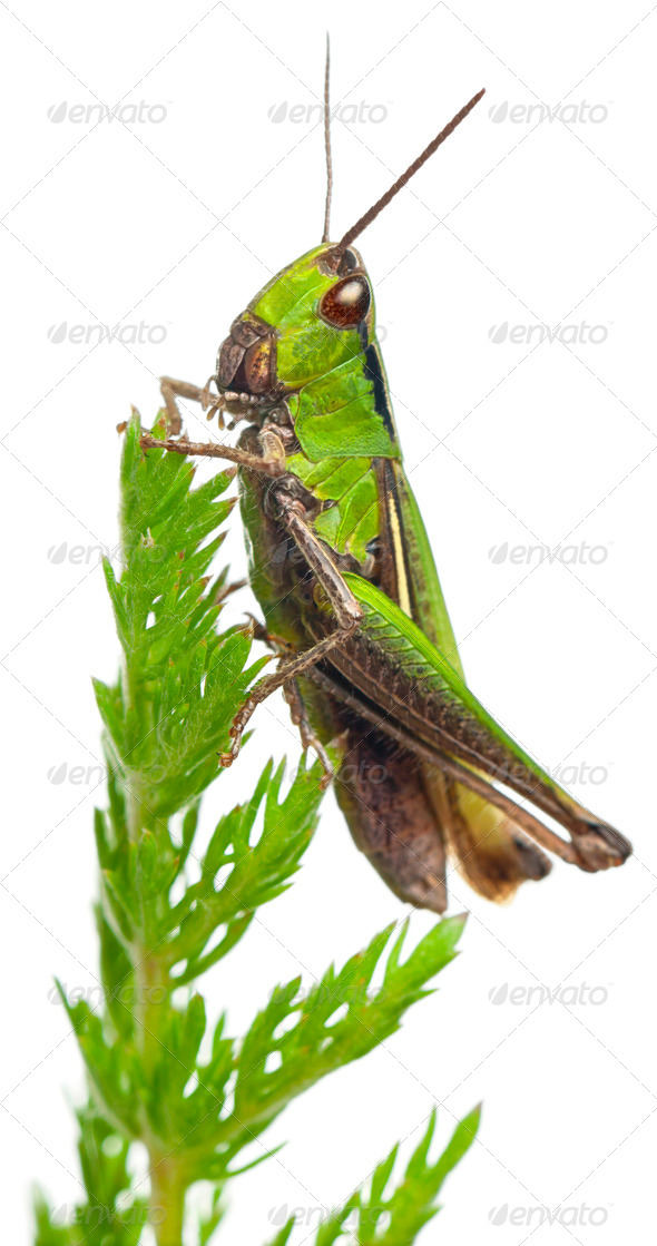Cricket on a plant in front of white background - Stock Photo - Images