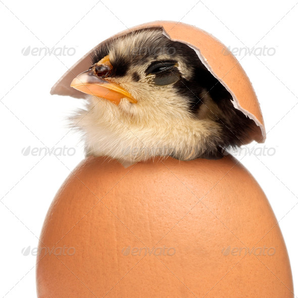 Chick, Gallus gallus domesticus, 3 days old, in egg in front of white background - Stock Photo - Images