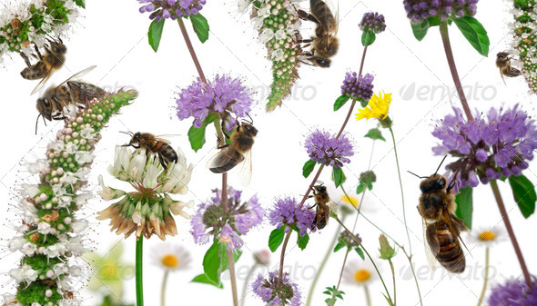 Female worker bees composition, Anthophora plumipes, in front of white background - Stock Photo - Images