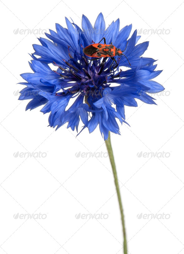 Scentless plant bug, Corizus hyoscyami, on cornflower in front of white background - Stock Photo - Images