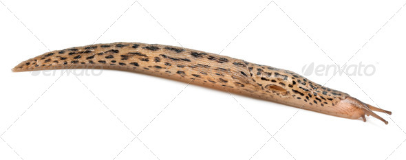 Leopard slug - Limax maximus, in front of white background - Stock Photo - Images