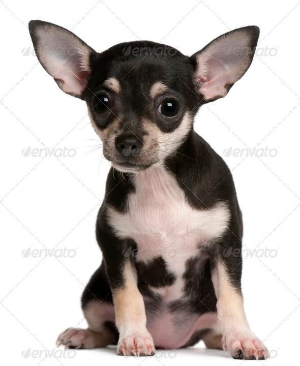 Chihuahua puppy, 3 months old, sitting in front of white background - Stock Photo - Images
