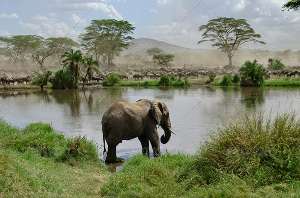 Elephant in river in Serengeti National Park, Tanzania, Africa - Stock Photo - Images