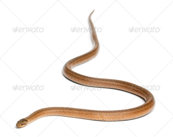 Smooth snake, Coronella austriaca, in front of white background - Stock Photo - Images