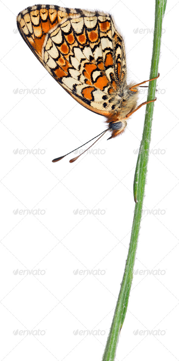 Knapweed Fritillary, Melitaea phoebe, on cornflower stem in front of white background - Stock Photo - Images