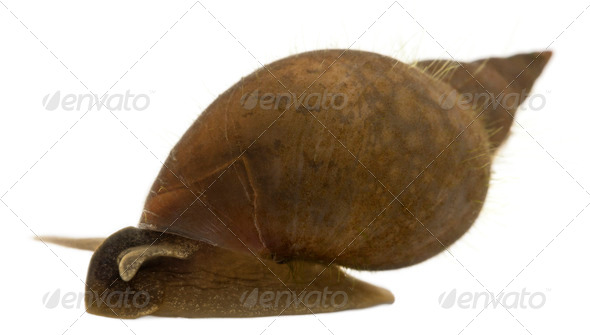 Great pond snail, Lymnaea stagnalis, a species of freshwater snail, in front of white background - Stock Photo - Images