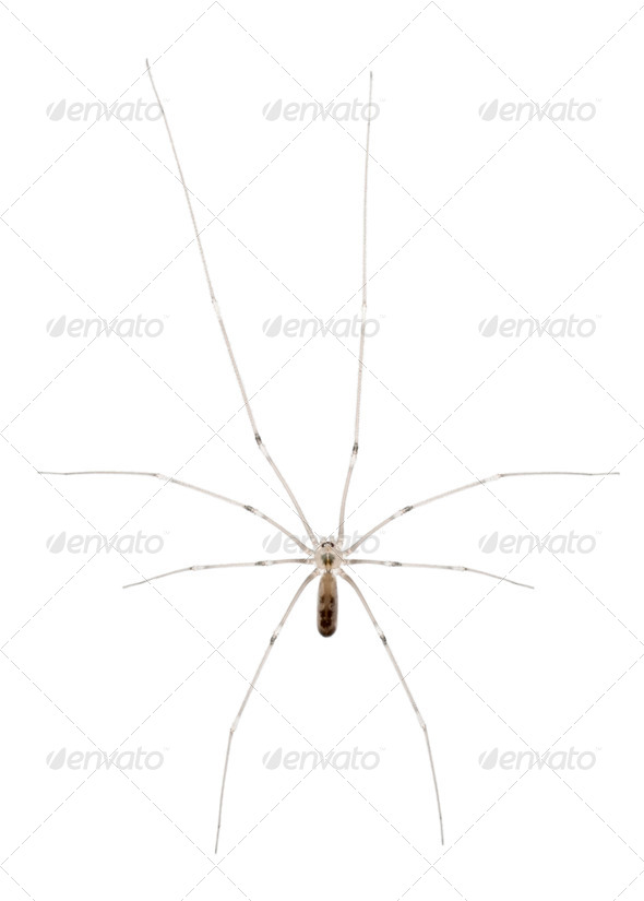 Spider, Holocnemus pluchei, in front of white background - Stock Photo - Images