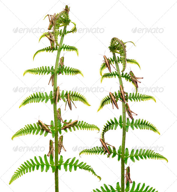Woodland Grasshoppers, Omocestus rufipes, on fern in front of white background - Stock Photo - Images