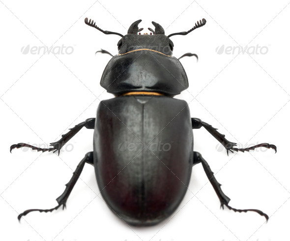 Female Lucanus cervus (stag beetle) in front of white background - Stock Photo - Images