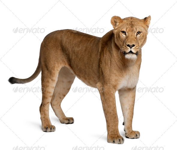 Lioness, Panthera leo, 3 years old, standing in front of white background - Stock Photo - Images
